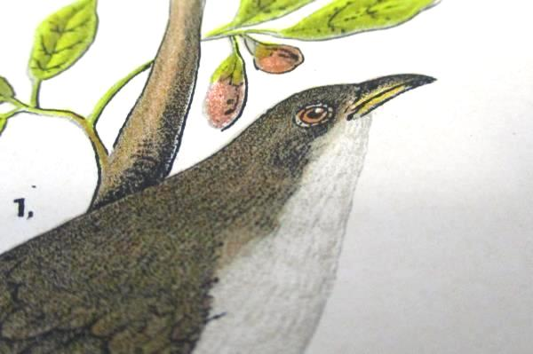 Chromolithograph Bird Print Plate Number 89 Yellow Black Billed Cuckoo Males